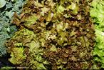 Hortaliça-alface-fonte de minerais.