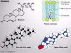 Representação estrutural e modelos da molécula de colestrol. Também traz um esquema mostrando seu movimento na célula pela membrana plasmática. <br/><br/> Palavras-chave: Colesterol. Química orgânica. Representação molecular.