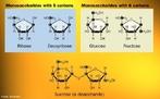 Imagem que mostra dois monossacarídeos e um dissacarídeo. Monossacarídeos ou simplesmente oses são carboidratos não polimerizados, por isso, não sofrem hidrólise. Possuem em geral entre três e sete átomos de carbono. O termo inclui aldoses, cetoses, e vários derivados, por oxidação, desoxigenação, introdução de outros grupos substituintes, alquilação ou acilação das hidroxilas e ramificações. Dissacarídeos, dissacáridos são cadeias orgânicas constituídas por duas unidades de monossacarídeos unidos por uma ligação glicosídica. A variação entre as unidades de monossacarídeos garante a existência de um grande sortimento de dissacarídeos sintetizados pelos seres vivos <br/><br/> Palavras-chave: Açúcar. Química do carbono. Monossacarídeo. Dissacarídeo.